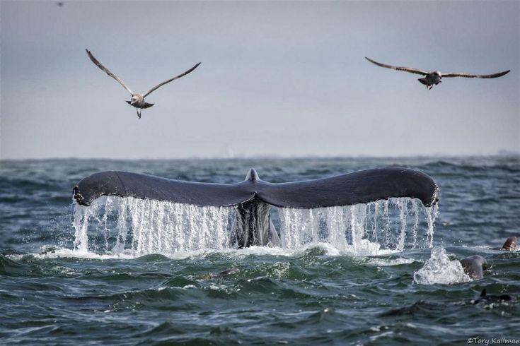 Monterey Bay, California - Anchovies spark humpback feeding frenzy in Monterey Bay
