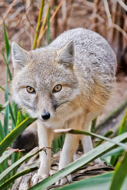 Swift fox: small light orange-tan fox around the size of a domestic cat found in the western grasslands of North America, such as Montana, Colorado, New Mexico, Oklahoma, Texas; prefer sandy loams or loams where they dig dens for shelter year round