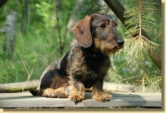 rauhaardackel wirehaired dachshund ) Dogs