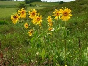 Arnica Montana found in our SBC Arnica Skincare Gel