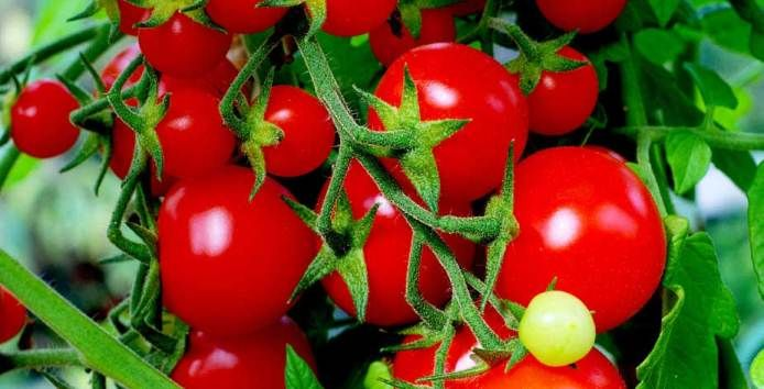 red tomatoes in pots