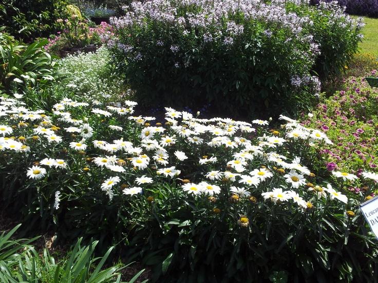 Leucanthemum 'Daisy May'  www.aussiewinners.com.au