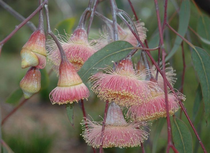 Eucalypt -- Silver Princess (Eucalyptus caesia). Photo: D. Blumer.