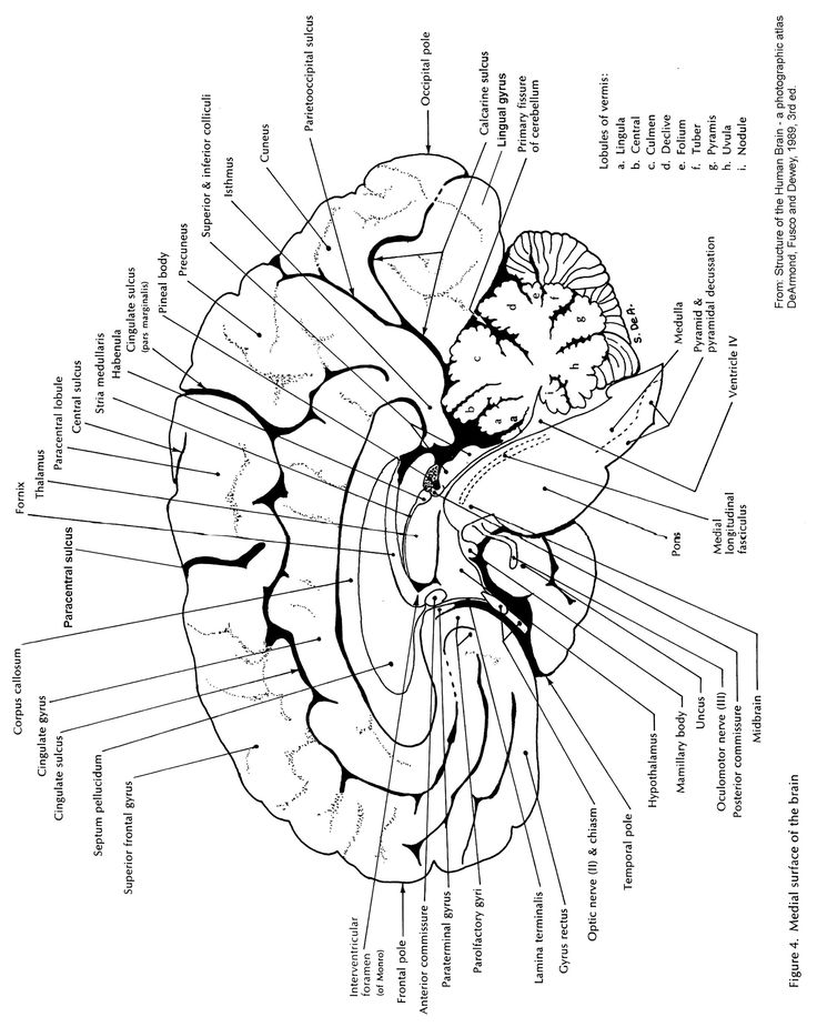 18 best Brain Anatomy images on Pinterest | Anatomy, Anatomy ...