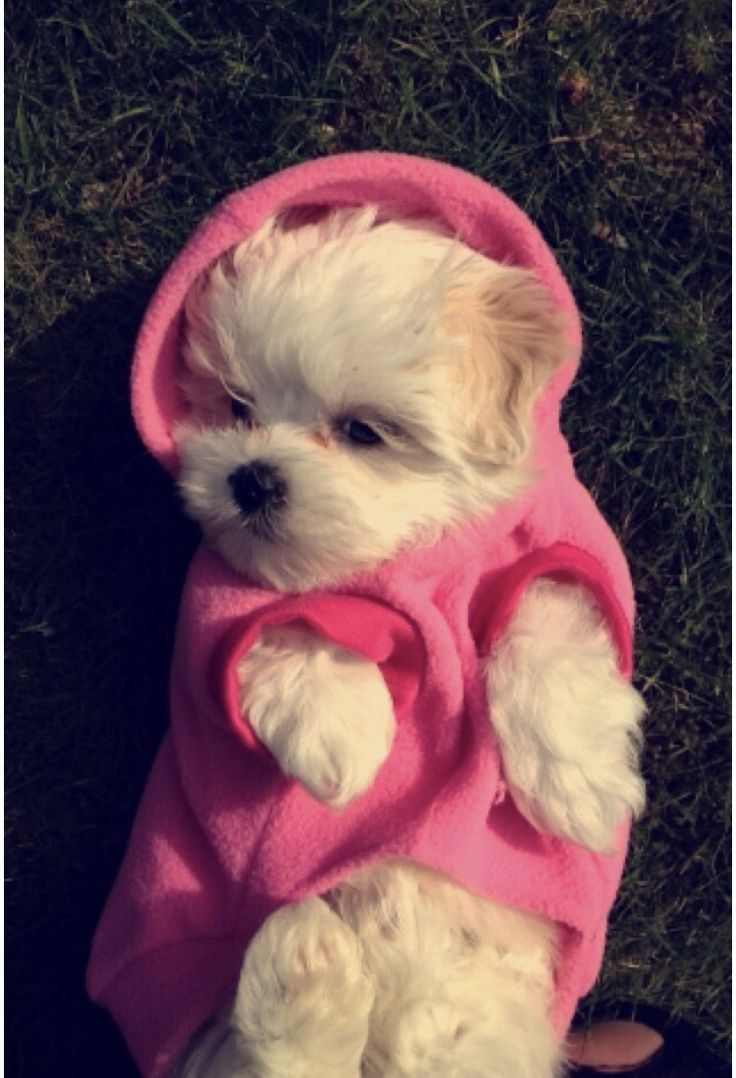 Zoe with a hoodie☁️ #maltipoo #dog #puppy #love #baby #hoodie #pet #cute #fluffy #bear #tbt #1 #mylove #bundle #fashion #style