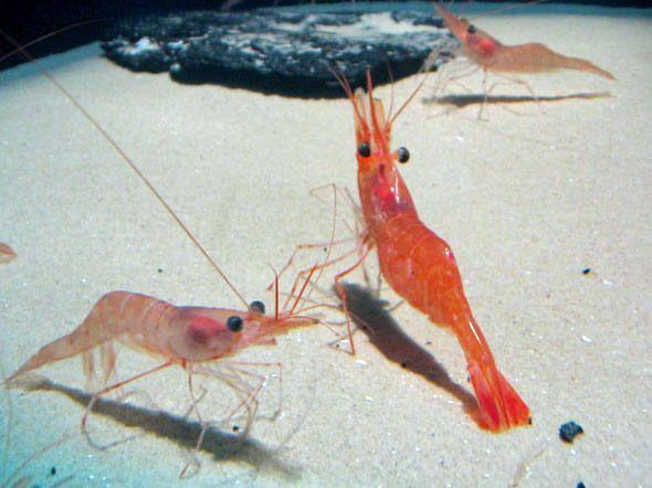 Casca do camarão: ajuda que vem do mar.