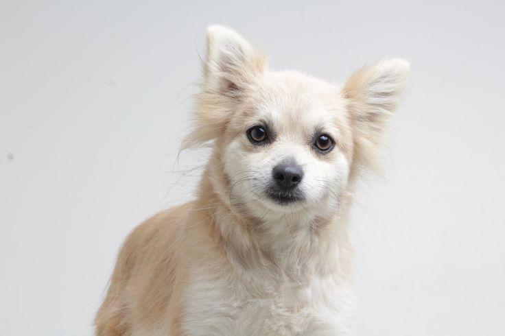Pomeranian dog for Adoption in Eden Prairie, MN. ADN-669255 on PuppyFinder.com Gender: Female. Age: Adult