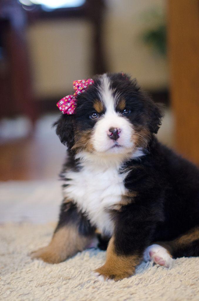 Popular Bernese Mountain Dog Chubby Adorable Dog - 617e22602938a1413bd4c91cd68c6238--sweet-girls-baby-girls  Snapshot_74289  .jpg