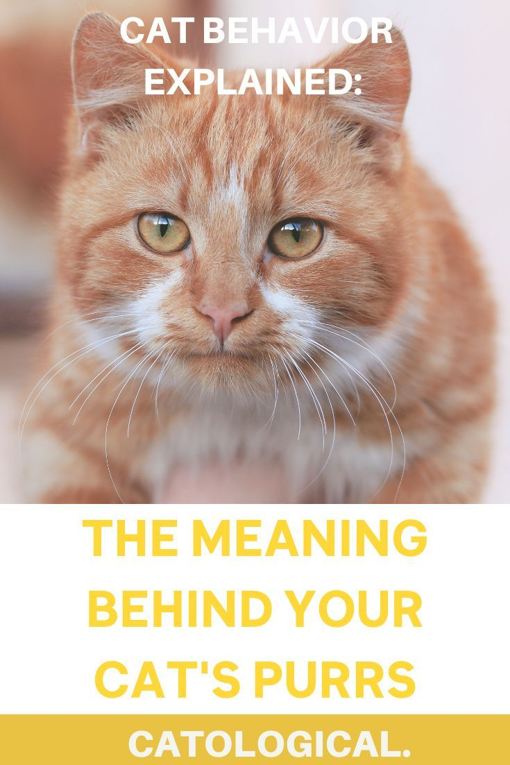 What Does It Mean When A Cat Purrs Are Kittens And Adults Different Cat Purr Cat Parenting Cat Behavior