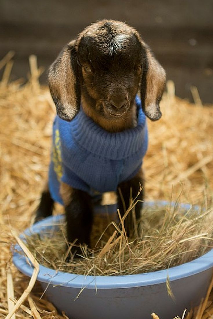 Rescued baby goat in a sweater. :D