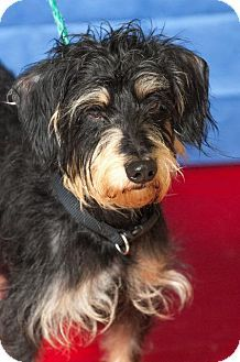 Johnson City, TN - Dachshund/Standard Schnauzer Mix. Meet cerberus, a dog for adoption. http://www.adoptapet.com/pet/18418510-johnson-city-tennessee-dachshund-mix