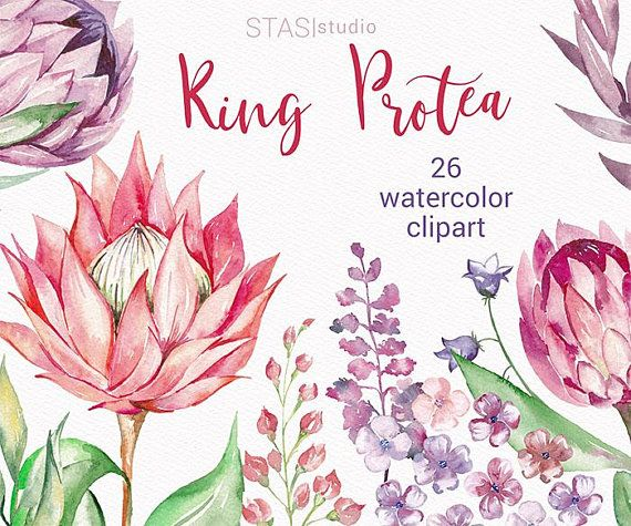 Watercolor Clipart King Protea Clipart Pink Purple Watercolor