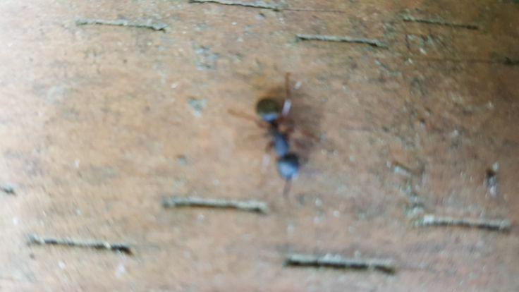 Best Way to Kill Carpenter Ants
