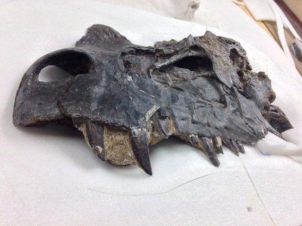 Ceratosaurus, provenant du Felch Quarry de Marsh, au NMNH.