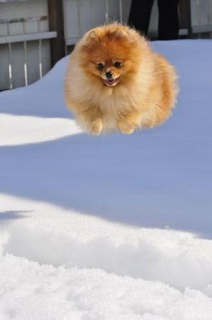 Pomeranian! by rosalyn