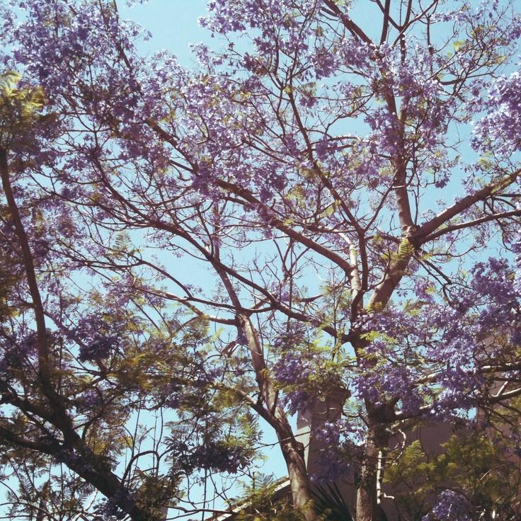 we love jacarandas. newcastle in bloom...