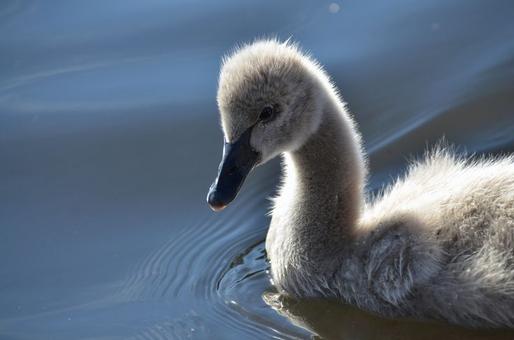 A baby black swan.. nawwww.....