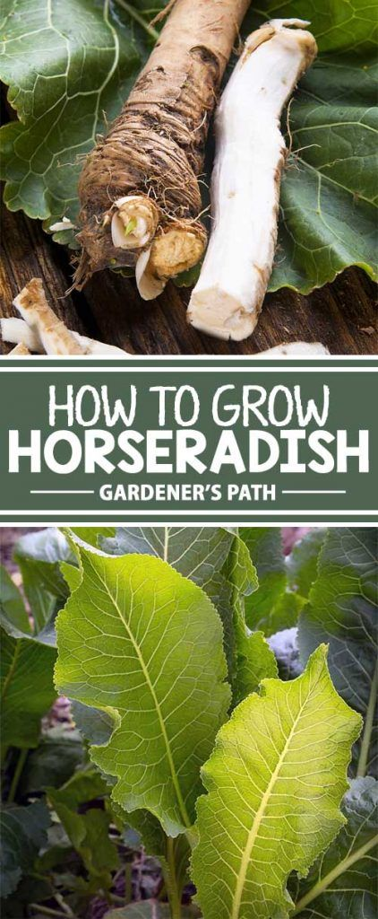 When you taste fresh horseradish sauce on your prime rib, you'll wonder why you hadn't planted this fiery root long ago. Learn how to plant, care for, harvest, and store spicy horseradish now at Gardener's Path.