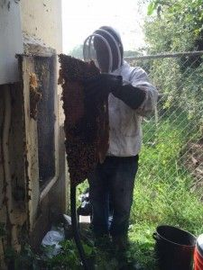 40 best bee removal los angeles images on pinterest bee removal please be aware that killing bees is not okay and please do not try to remove solutioingenieria Image collections
