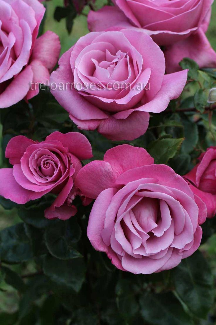 FRAGRANT PLUM - A deep lilac rose, edged rich purple, with a high centre. Strong perfume.