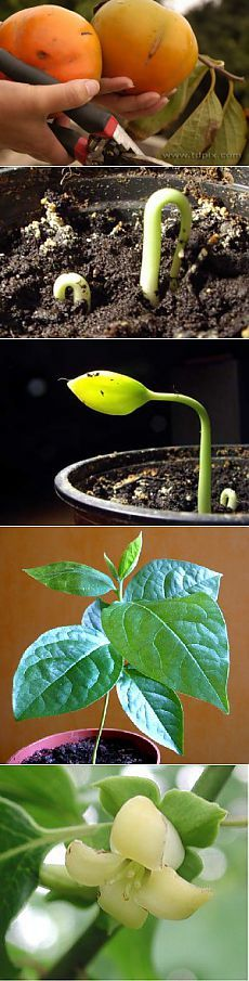 Как вырастить хурму из косточки?   GreenHome