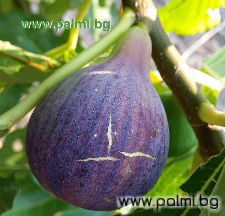 Fig varieties | Fig variety Sultane de Marabout