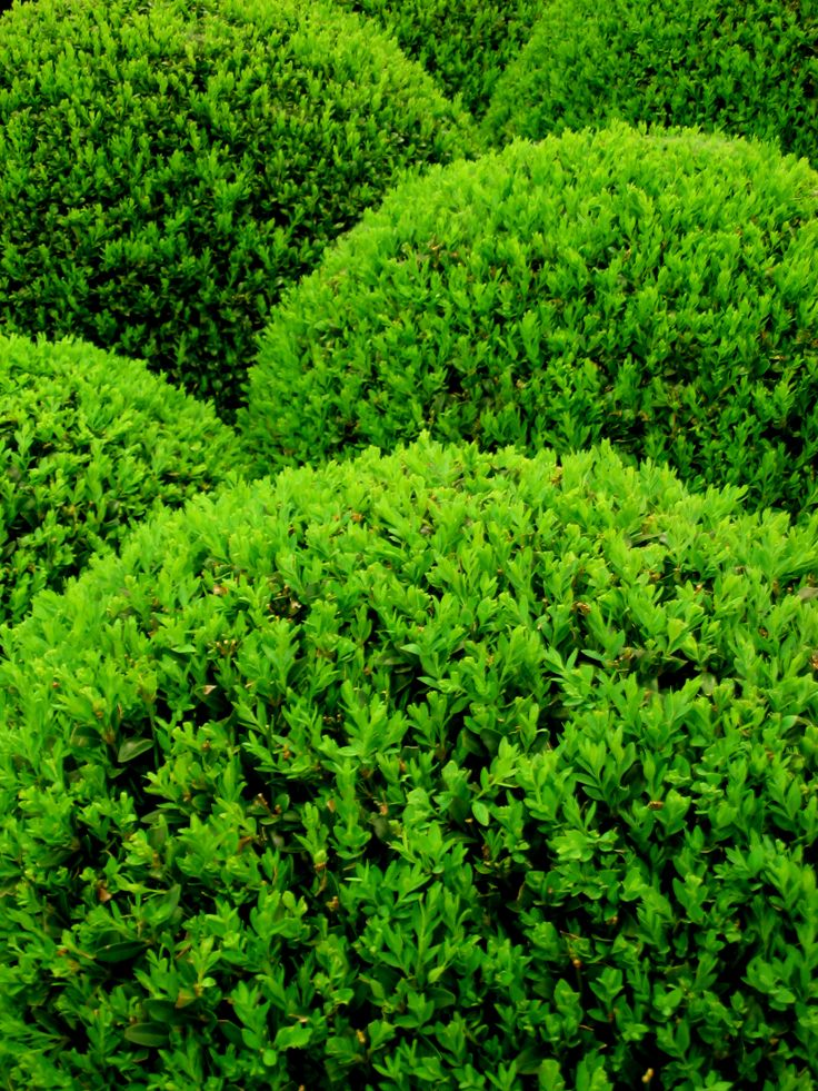 S21 Box topiary balls (Buxus sempervirens) Evergreen shrub with small leaf