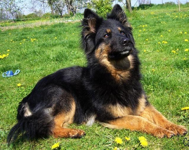 16 best Chodsky pes-Bohemium Shepherd images on Pinterest | Sheep dogs, German shepherd puppies ...