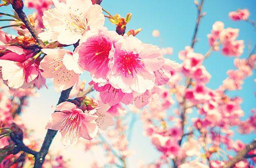 hiatus。: Cherries Blossoms, Gardens Flowers, Flowers Seoul, Flowers Power, Flowers Pink, Beautiful Flowers, Photo, Sakura Cherryblossom, Pink Gardens