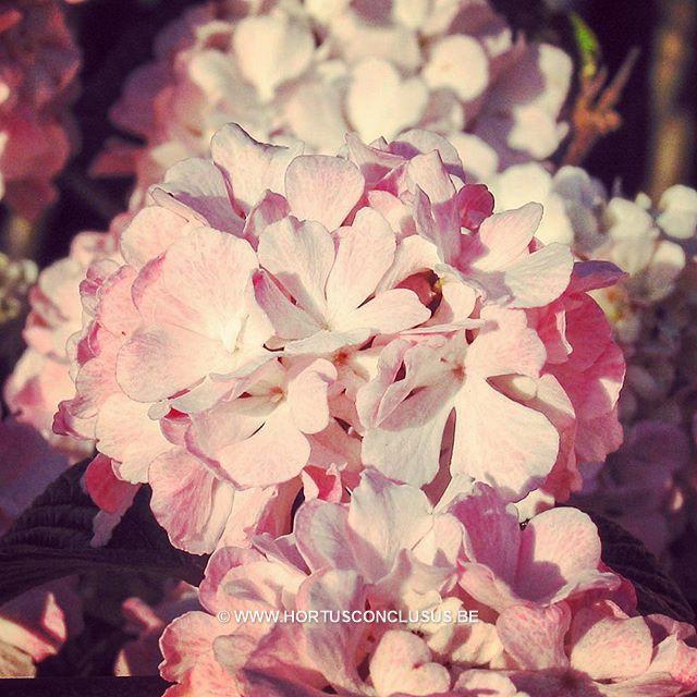 Viburnum plicatum 'Dart's Red Robin' #gardening #tuinieren #jardinage #gartenarbeit #viburnum #flowers #bloemen #fleurs #tree #boom #arbre #baum #hortusconclusus #treenursery #boomkwekerij #pépinière #baumschule #uitbergen #berlare #zele #wichelen #schellebelle #lokeren #schoonaarde #dendermonde #laarne #beervelde #kalken #wetteren