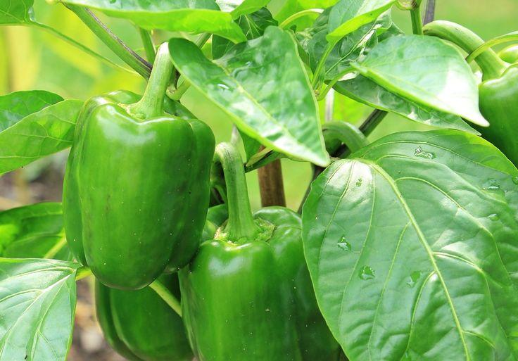 Pepper - wymagająca roślina