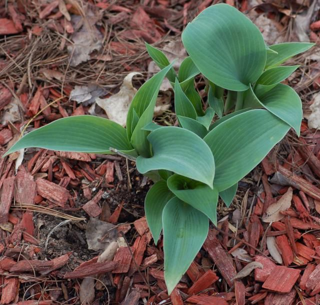 Hosta Halcyon: Blue Hosta With Textured Leaves