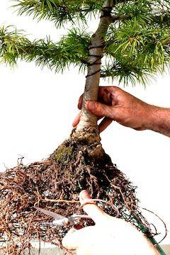 Poda de raíces en bonsái