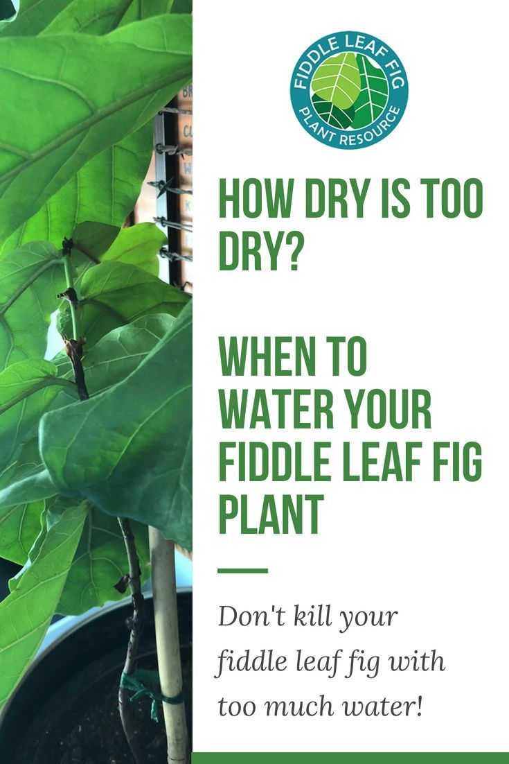 fig tree care on did you know that the 1 cause of sick fiddle leaf fig plants is overwatering it s so tempting to water our p fiddle leaf fig tree fiddle leaf fig fiddle leaf fiddle leaf fig tree