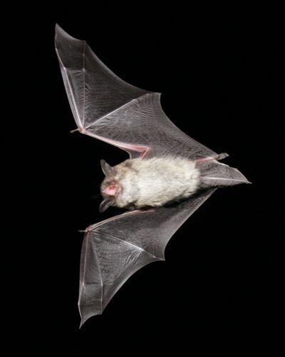 Little Brown Bat // Nature Friend Magazine