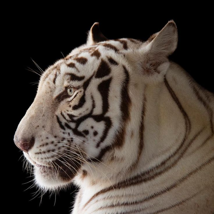 Image by @joelsartore | A white bengal tiger named Rajah at @agulfcoastzoo. Native to India, Bengal tigers are usually orange but once in great while they are born white in color. They are the most numerous tiger subspecies, yet only 2,500 are left in the world. This is due to a steady decline in their habitat, their prey base, and poaching for their body parts. The tigers that remain must hunt closer and closer to villages and sometimes turn to livestock for food. In these situations, they…