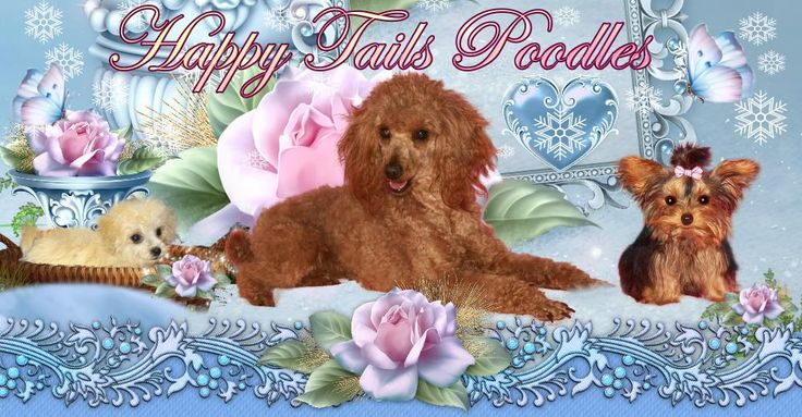 Arndts happy tails poodlesyorkshire terriers