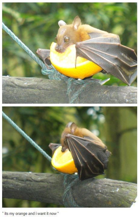 Fruit Bat eating an orange. Love bats and orange!