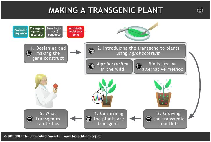This interactive illustrates a process used by scientists to generate transgenic plants.