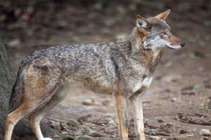 Red Wolf | Red Wolf Pictures
