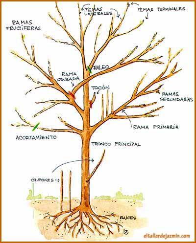 Informe: todo sobre la poda de especies: árboles, rosales, arbustos y frutales. Podas de floración y formación.