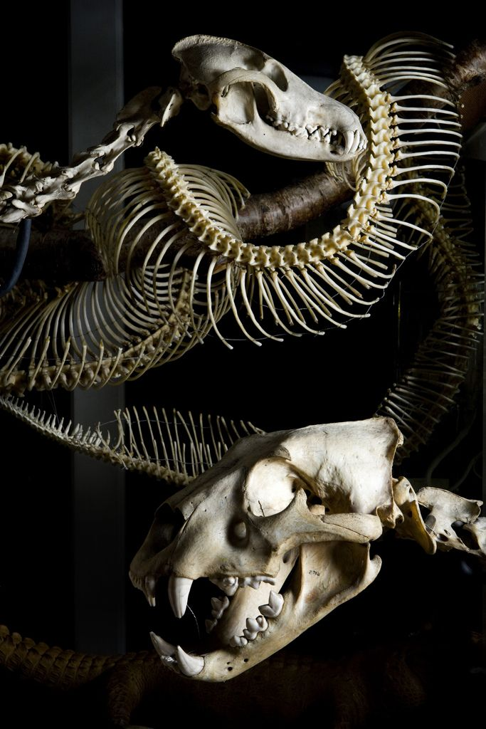 The Carnivore case (detail), Grant Museum of Zoology. Skeletons of a maned wolf and a lion, with a 5m anaconda seen behind.