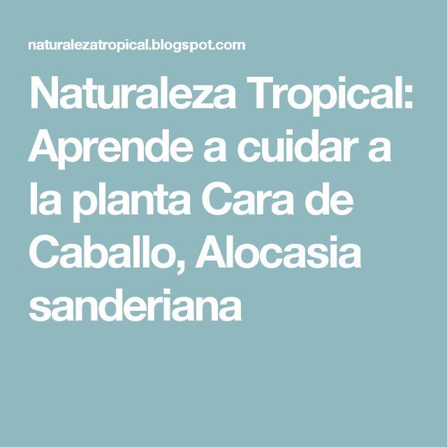 Naturaleza Tropical: Aprende a cuidar a la planta Cara de Caballo, Alocasia sanderiana