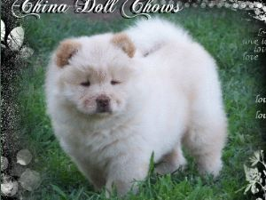 Chow Chow Puppies For Sale: Cream chow chow puppies