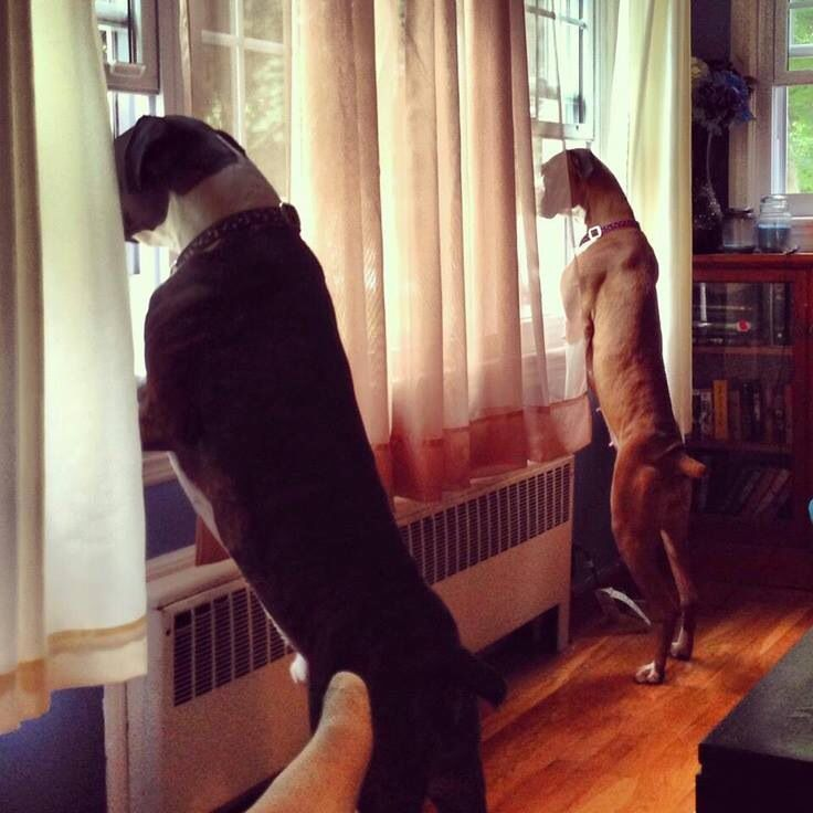 Boxers watching