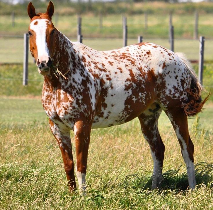 Here's another picture of him. I can't decide if the pattern is either a crazy Sabino/White Mutation or an interesting form of Manchado - but it's definitely not an Appaloosa!
