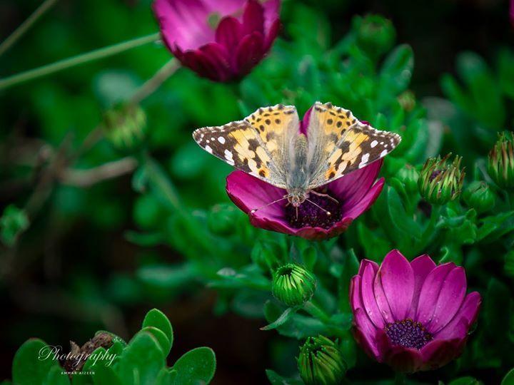 لماذا بنفسج زهرة البنفسج تمتلك لونا جذابا وعطرا بديعا وهي زهرة متواضعة لا تؤذي أحدا كما هم متطوعي بنفسج Violet Plants