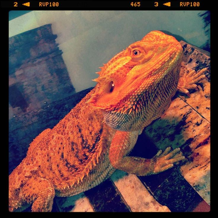 """Puff Daddy (short for Puff the Manical Dragon) was mean muggin me.  So I stare back... He says """"What u looking at?  Take a picture it lasts longer!"""" So I did... :) #beardeddragon #puff #puffdaddy #meanmuggin #cute #beardy #dragon #mypetisawesome #goofy #goodmorning #sillylizardtrixr4kids #obviouslyhedoesnttalk"""