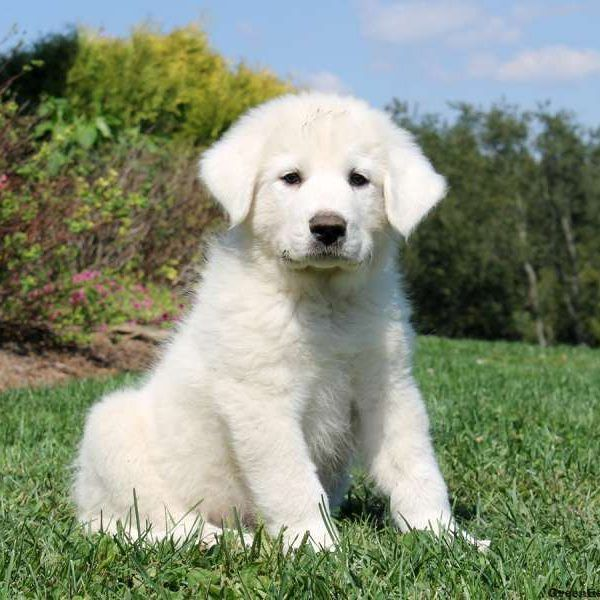 Great Pyrenees Puppies For Sale Islamabad Pakistan In 2020 Pyrenees Puppies Great Pyrenees Puppy Great Pyrenees Dog