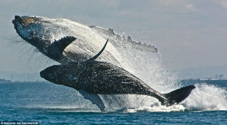 humpback whales - mother and calf leaping together